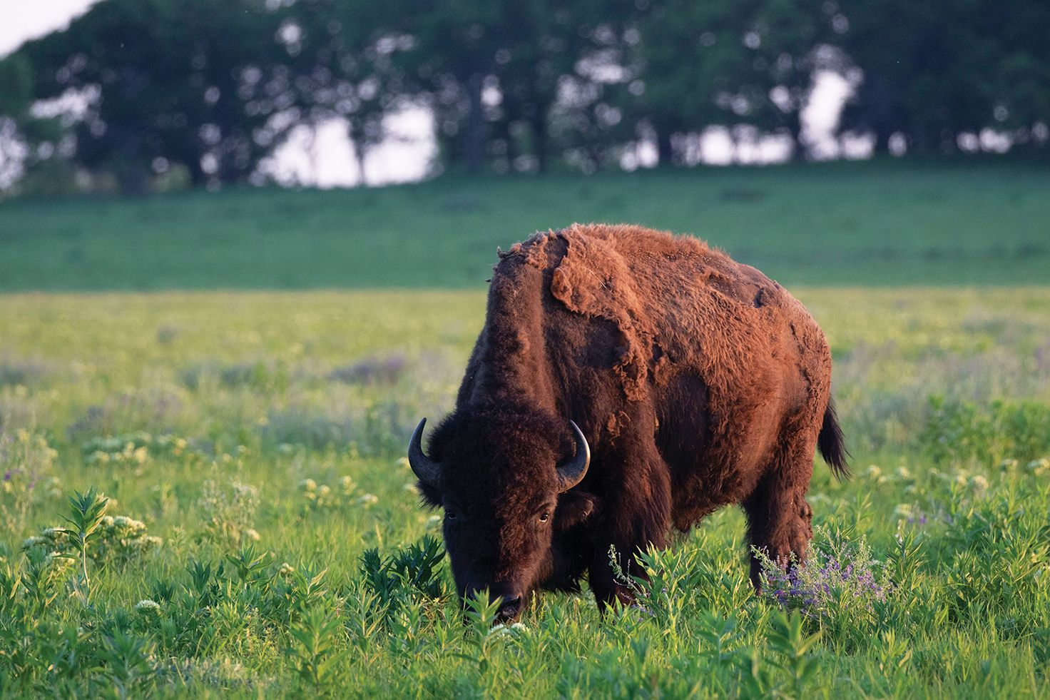 Lone male bison in a meadow.