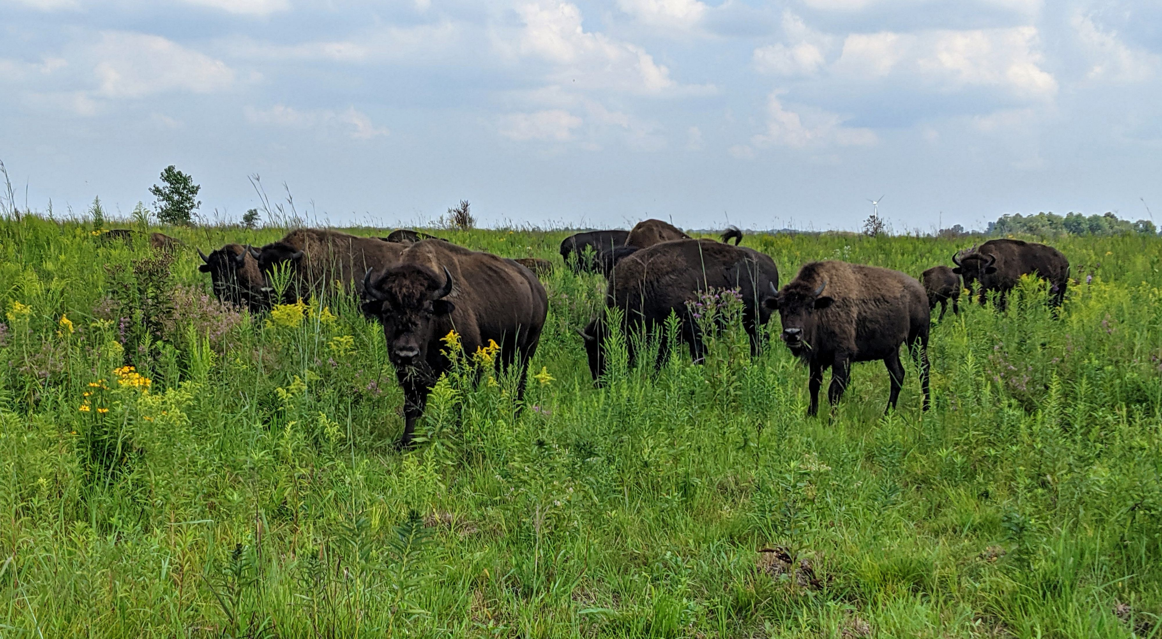 Herd of bison on lush green prairie under a lightly cloudy blue sky.