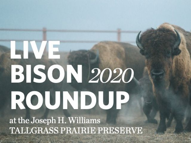 """Close-up of bison herd beginning to stampede into the corrals with overlaid text that reads """"Bison Roundup at Tallgrass."""""""