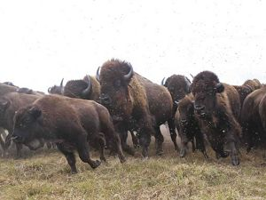 Close-up of a bison herd beginning to stampede.