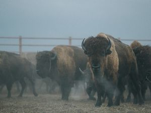Bison herd moving through a corral system during roundup.