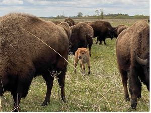 Bison calf surrounded by adult bison