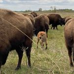 A bison calf in a group of adults at the Kankakee Sands Preserve in Indiana.