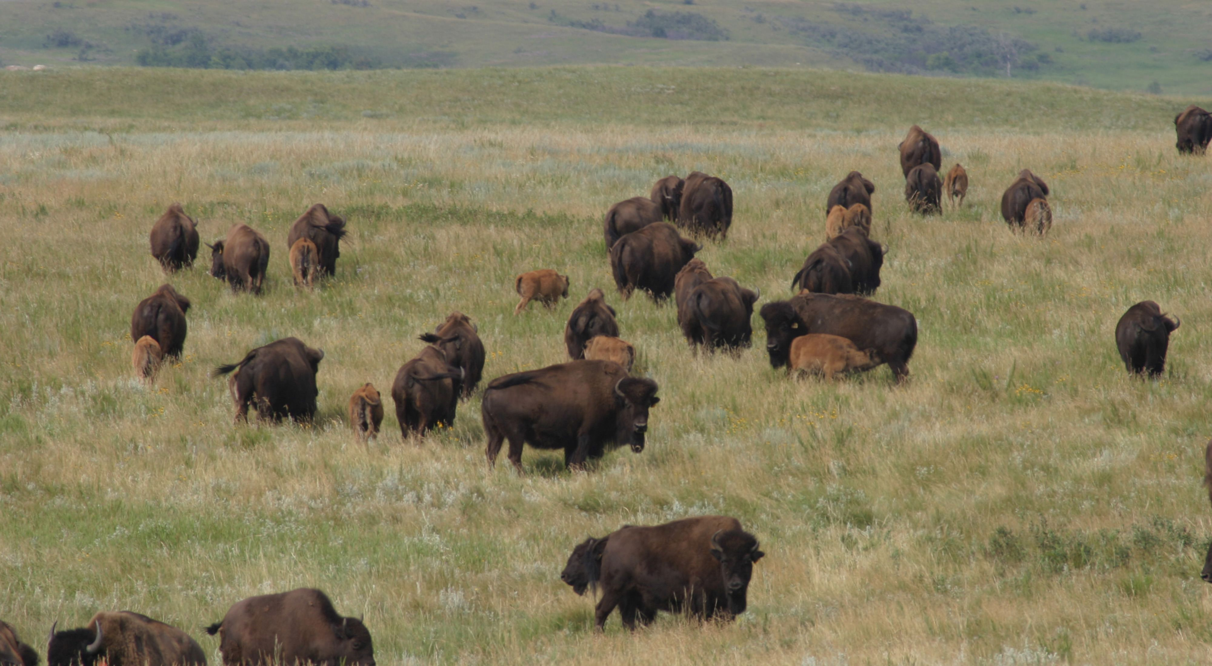 Bison herd, with calves, at Cross Ranch Preserve