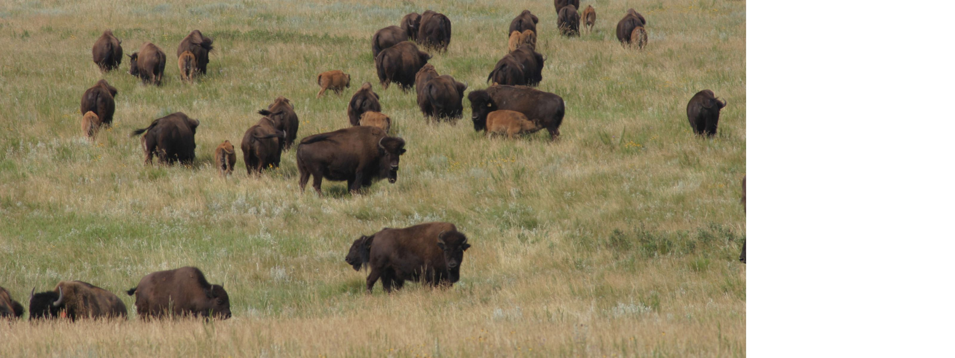 Bison herd, with calves, at Cross Ranch Preserve, near Washburn, North Dakota.