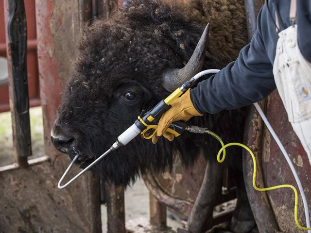 A person administers a vaccine to a bison by mouth.
