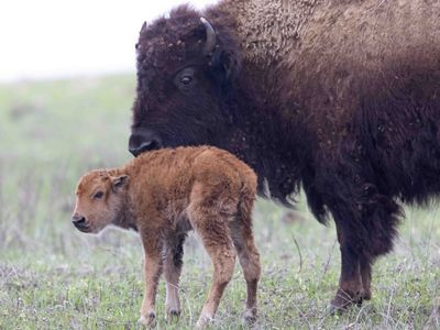 Bison mom and new calf soon after giving birth.