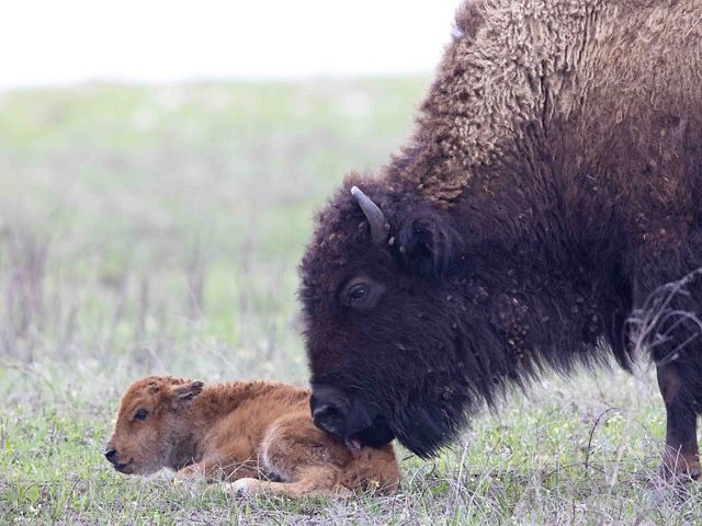 "The first bison calf of 2020 at Tallgrass Prairie Preserve getting a ""welcome"" cleaning from its mother."