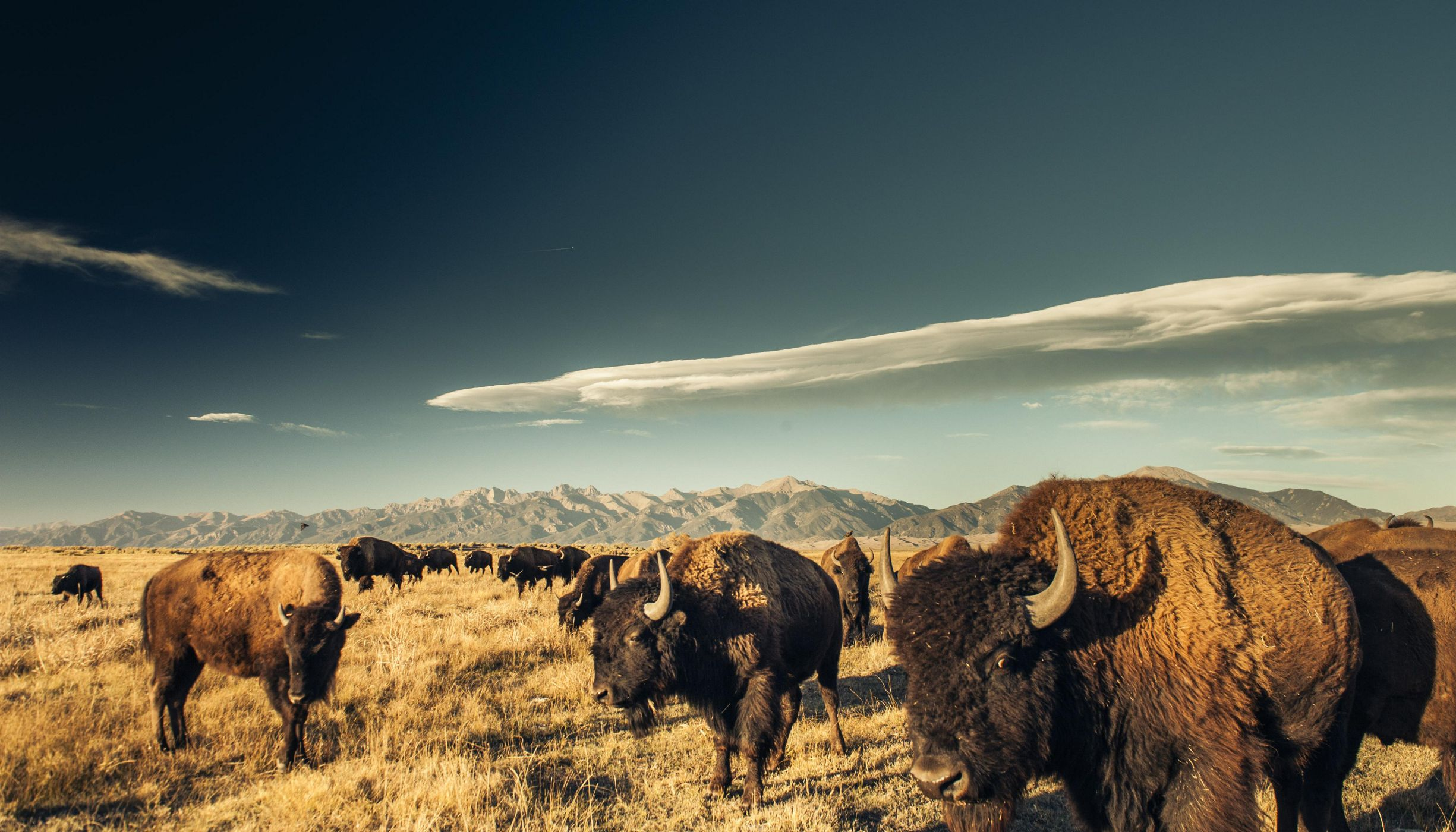 A bison herd grazing at The Nature Conservancy's Zapata Ranch.