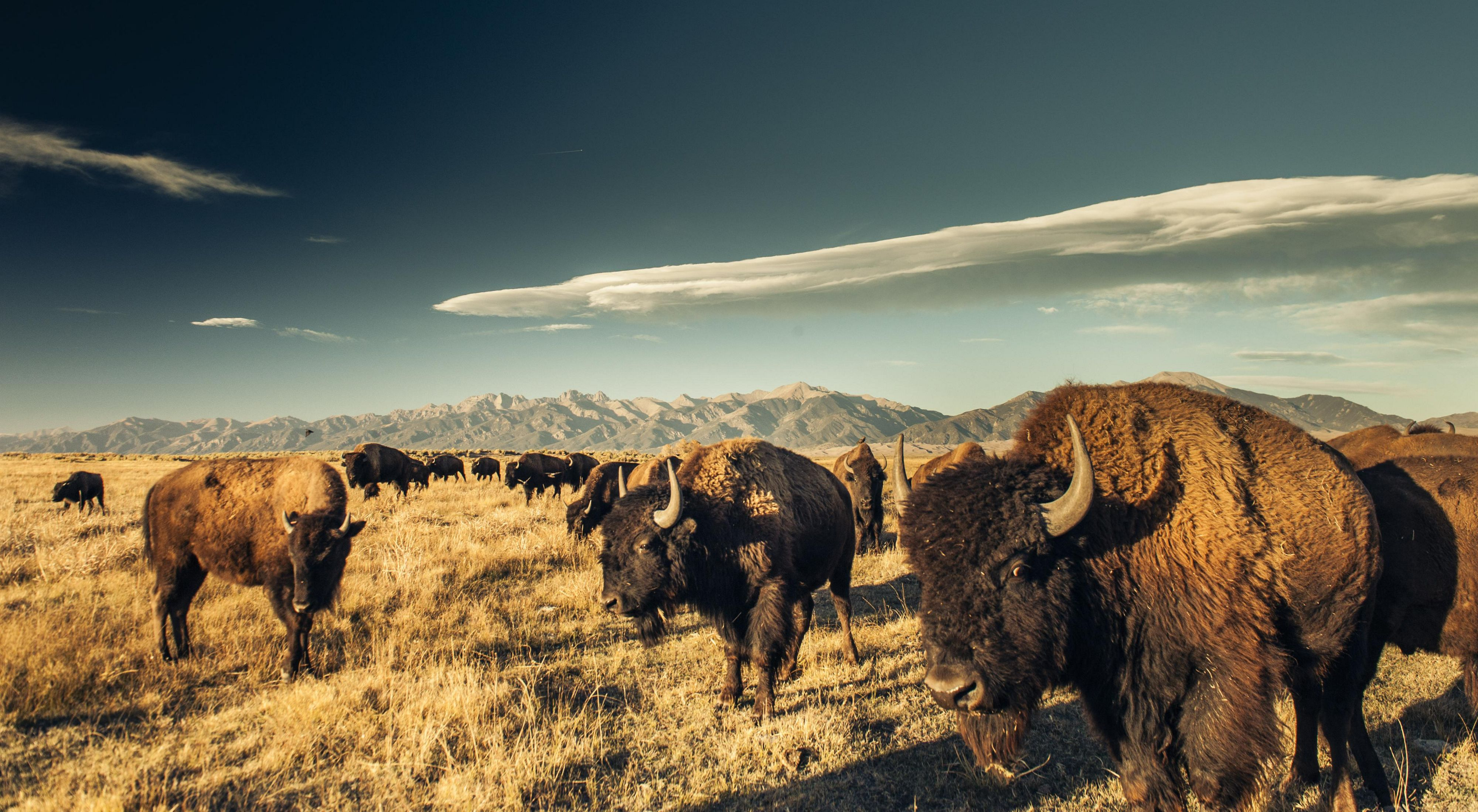 A herd of bison grazing in the San Luis Valley.