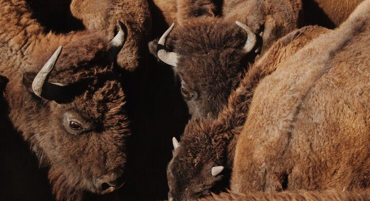 Bison huddle at TNC's Zapata Ranch.