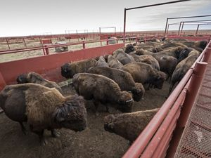Bison in a corral waiting for annual vaccinations.