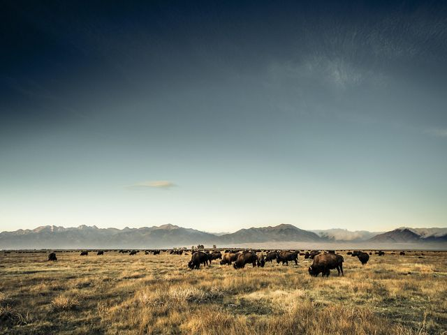 Bison grazing on Zapata Ranch.