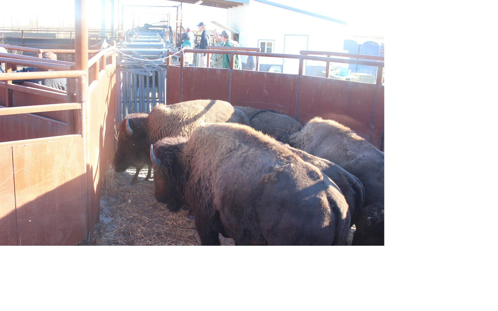 a small group of bison are held in the corral