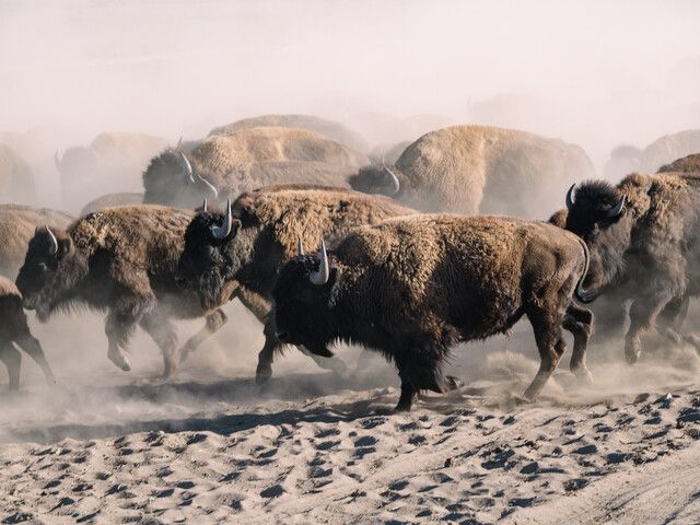 Bison running while being herded during Bison Works at Zapata Ranch in Colorado.