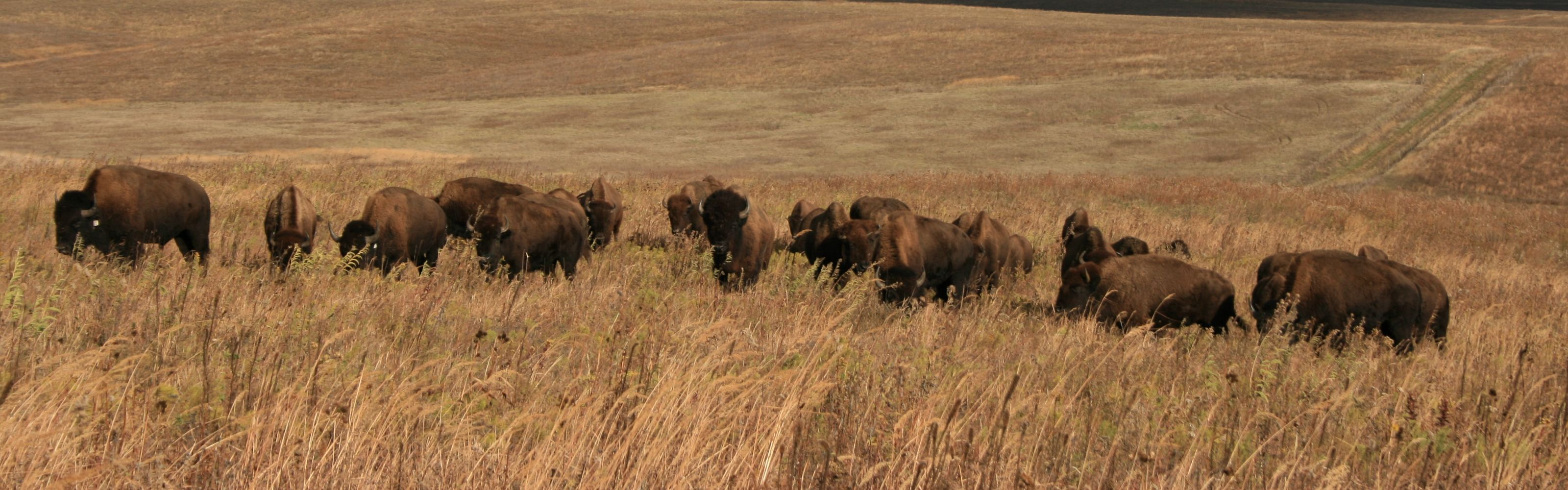 Bison roam the prairie on a fall day.
