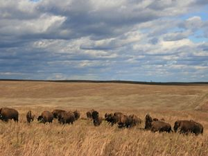bison roam the prairie