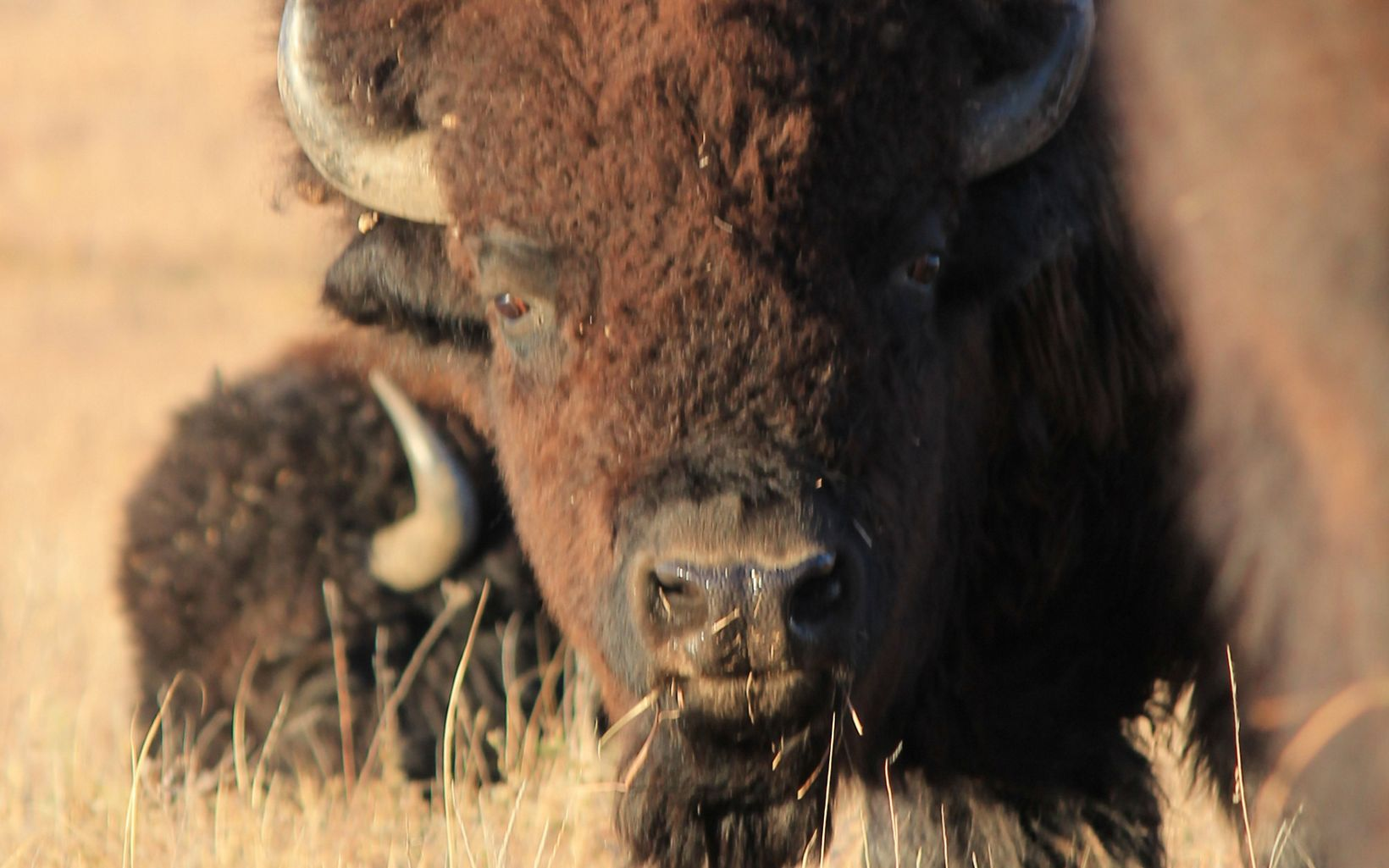 Close up of bison face.