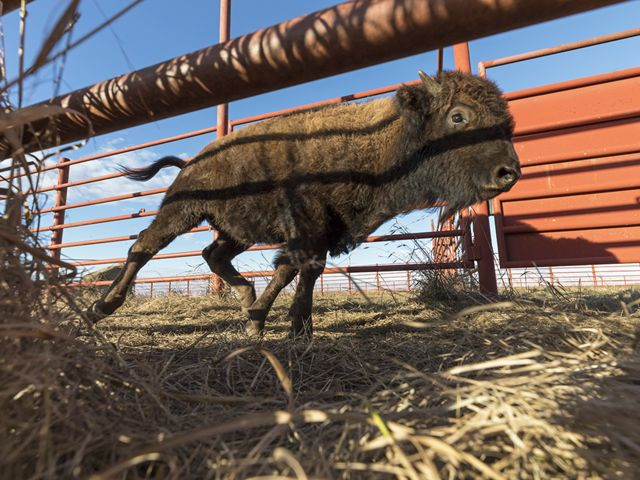 Bison calf after receiving a health checkup at Tallgrass Prairie Preserve annual Bison Roundup.