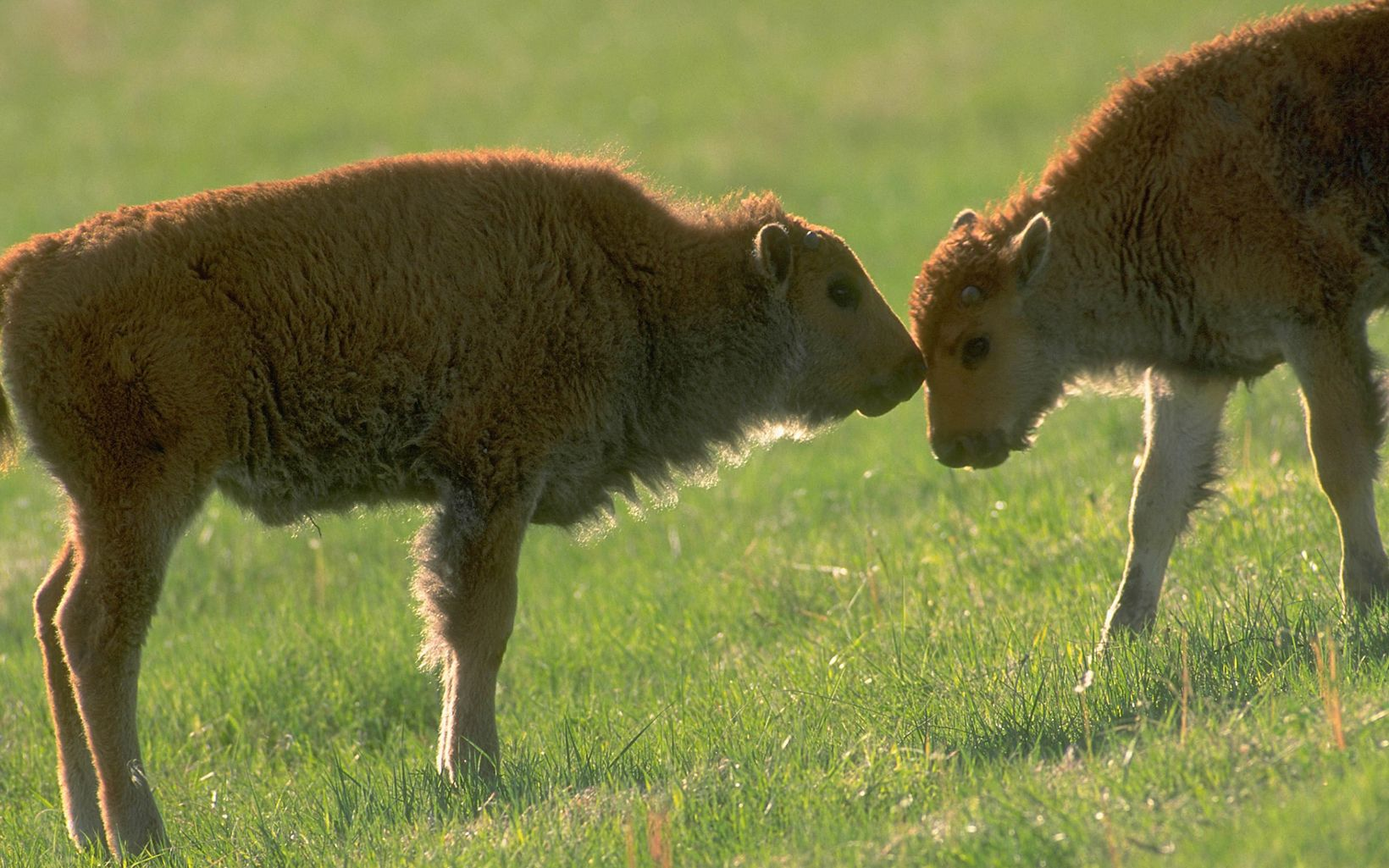 Bison calves at Tallgrass Prairie Preserve.