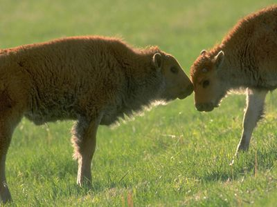 Bison calves at Tallgrass Prairie Preserve