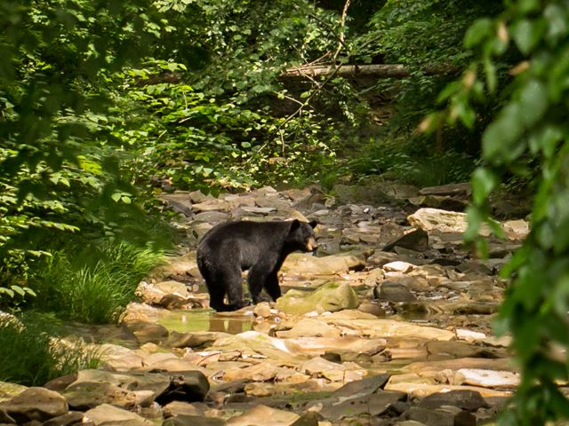 Our goal to connect our Edge of Appalachia Preserve System and nearby Shawnee State Forest will provide protected habitat corridors for more wildlife like black bear & bobcat.