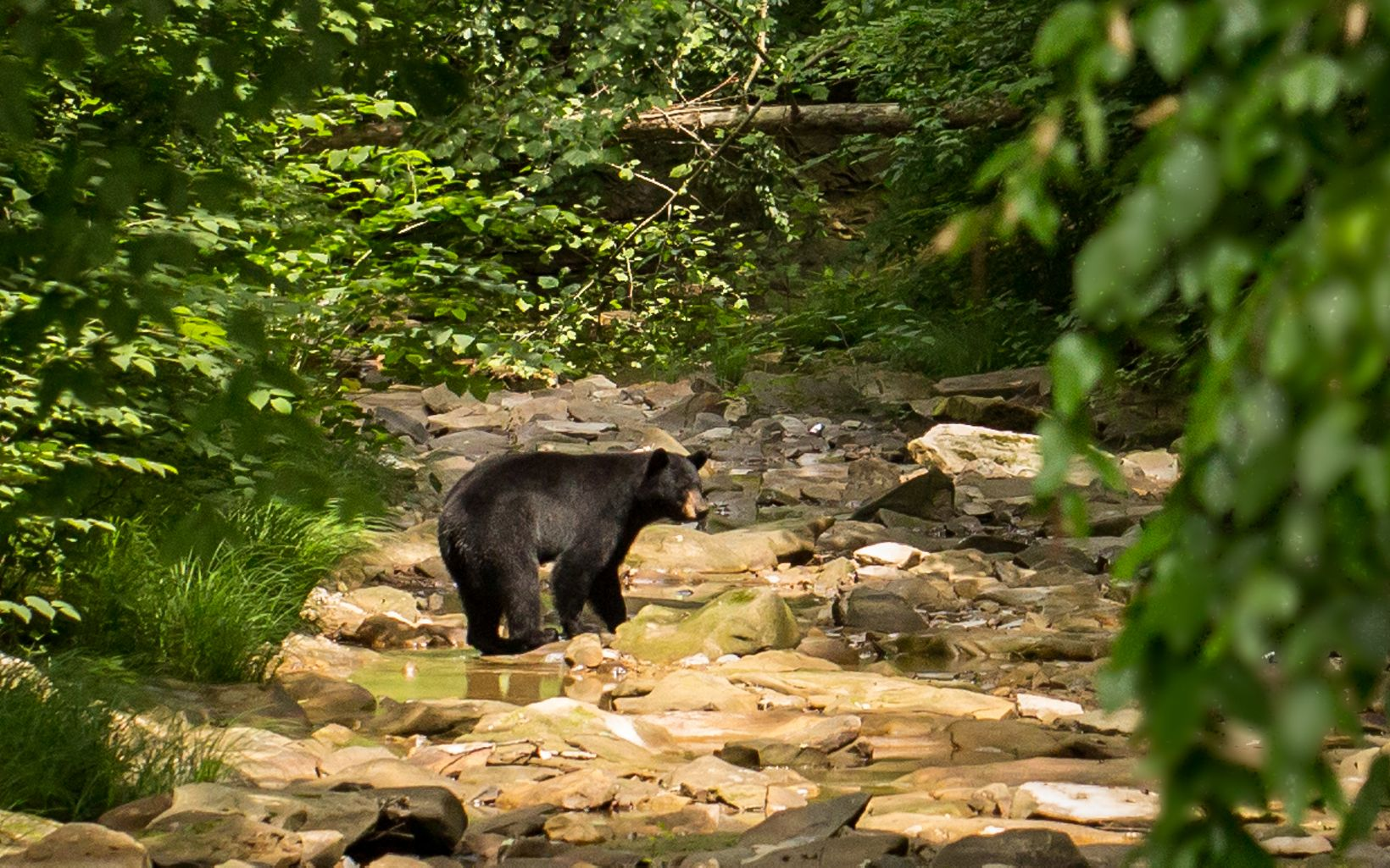 A black bear wades in a rocky creek.