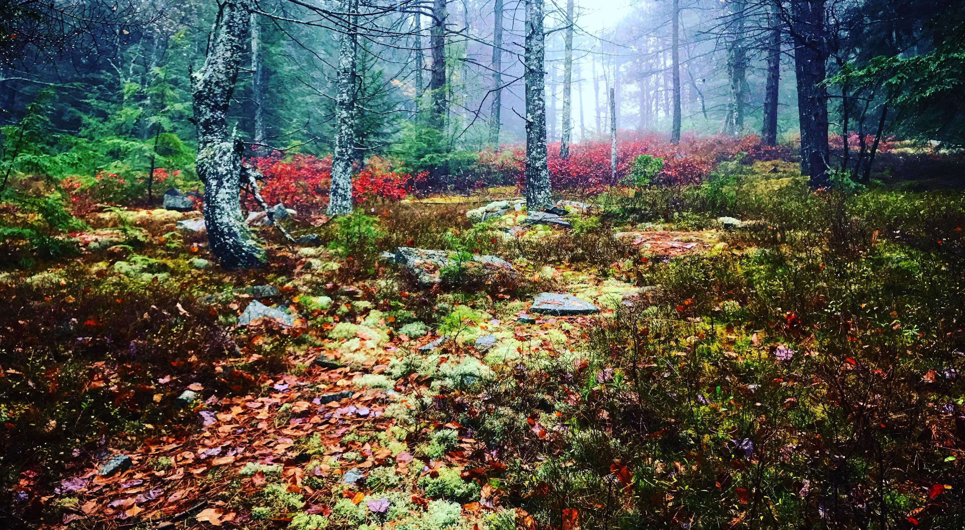 Misty woods with trees, moss and lichens.