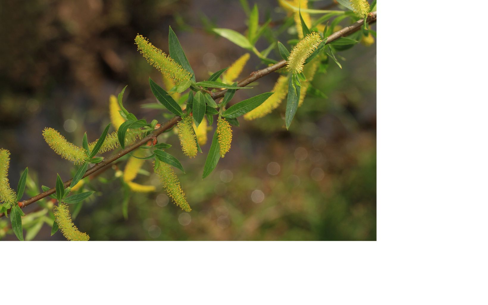 Small tree branch with slender green leaves and bright yellow seed pods.