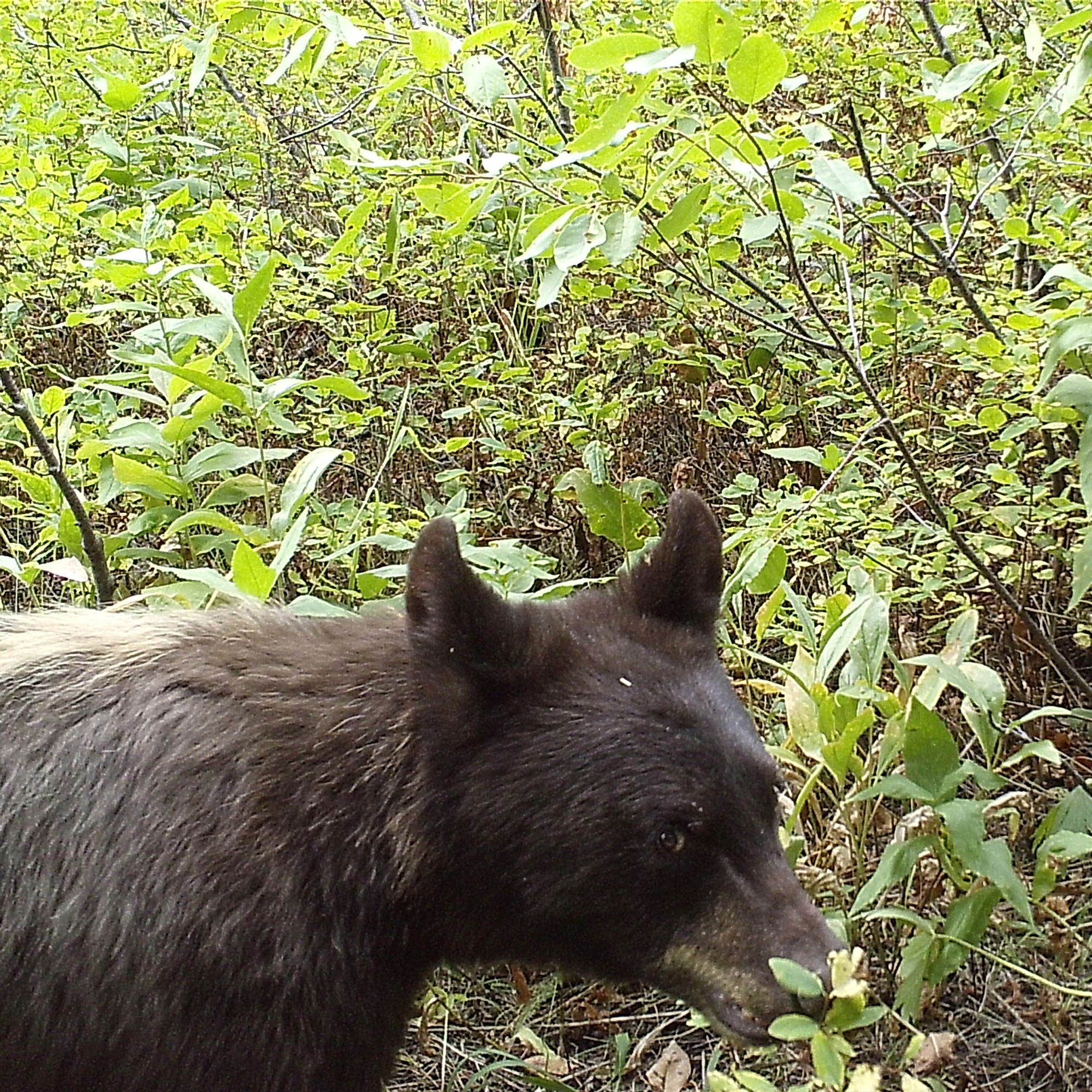 A black bear walks in front of a trail camera triggering a photo.