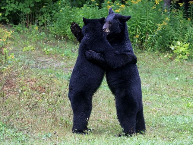 Two black bears are standing up hugging each other.