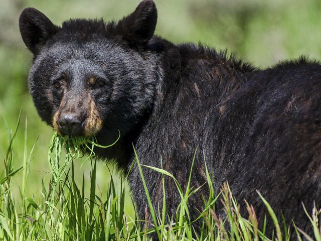 In the wildlife inventory of the Fishers Peak acquisition, significant traces of black bears have been discovered—enough for the area to be considered a refuge.