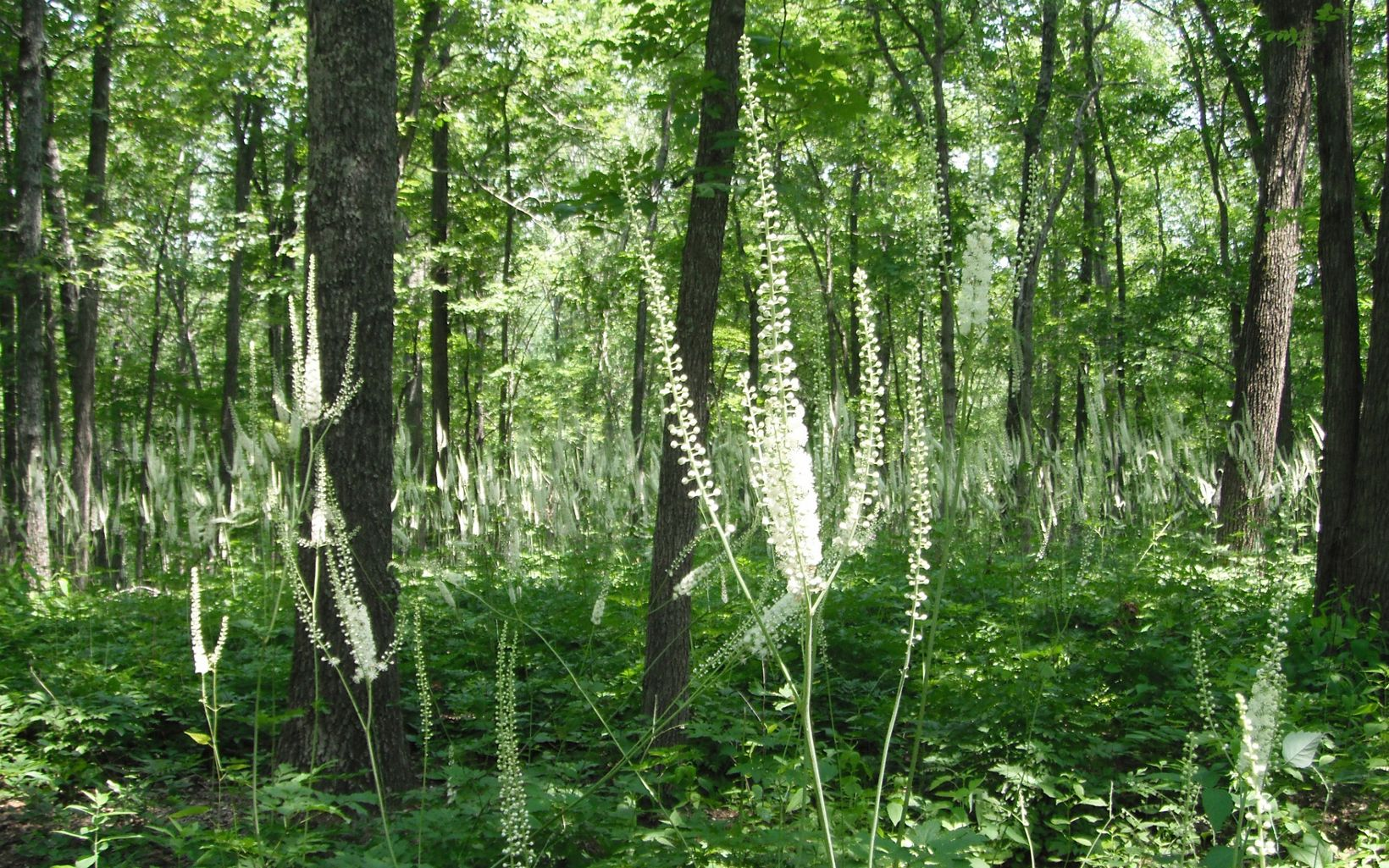 Black cohosh grows under the canopy of the trees