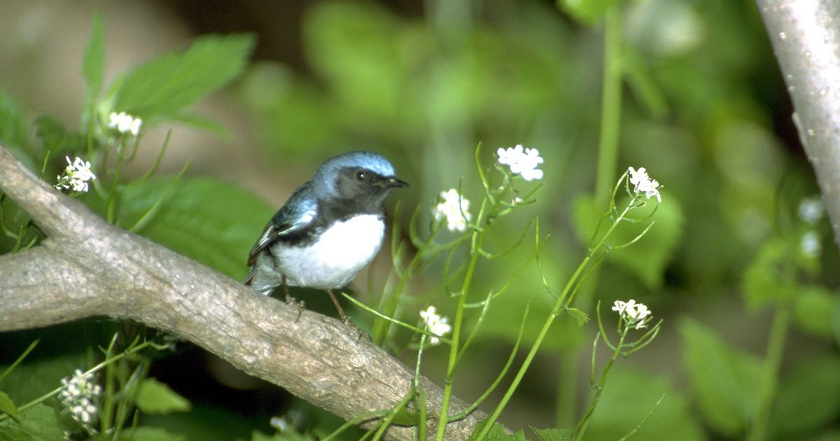 Black-throated blue warbler perched on plant with white flowers.