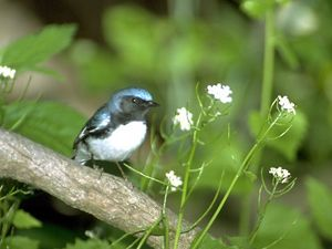 Black-throated blue warbler perched on a branch.