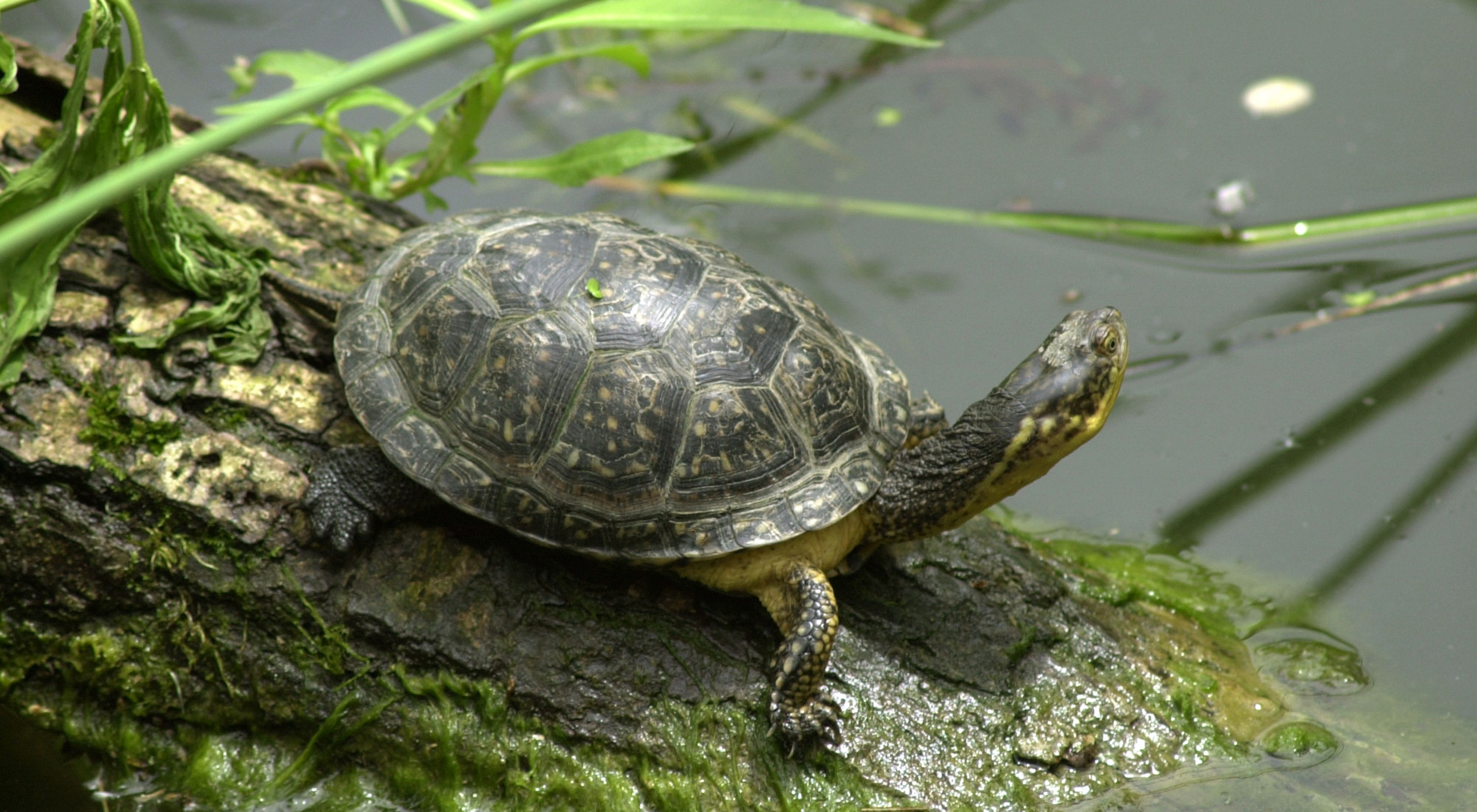 A turtle sits on a log in the water.
