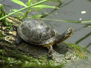 Blanding's turtle resting on a moss-covered log