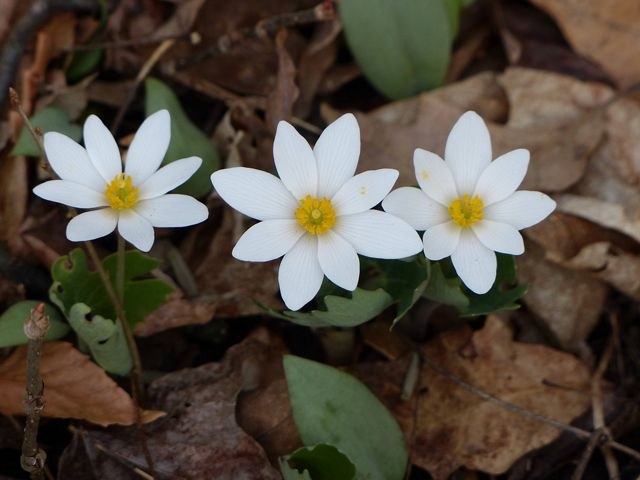 Bloodroot blooms in a forest.
