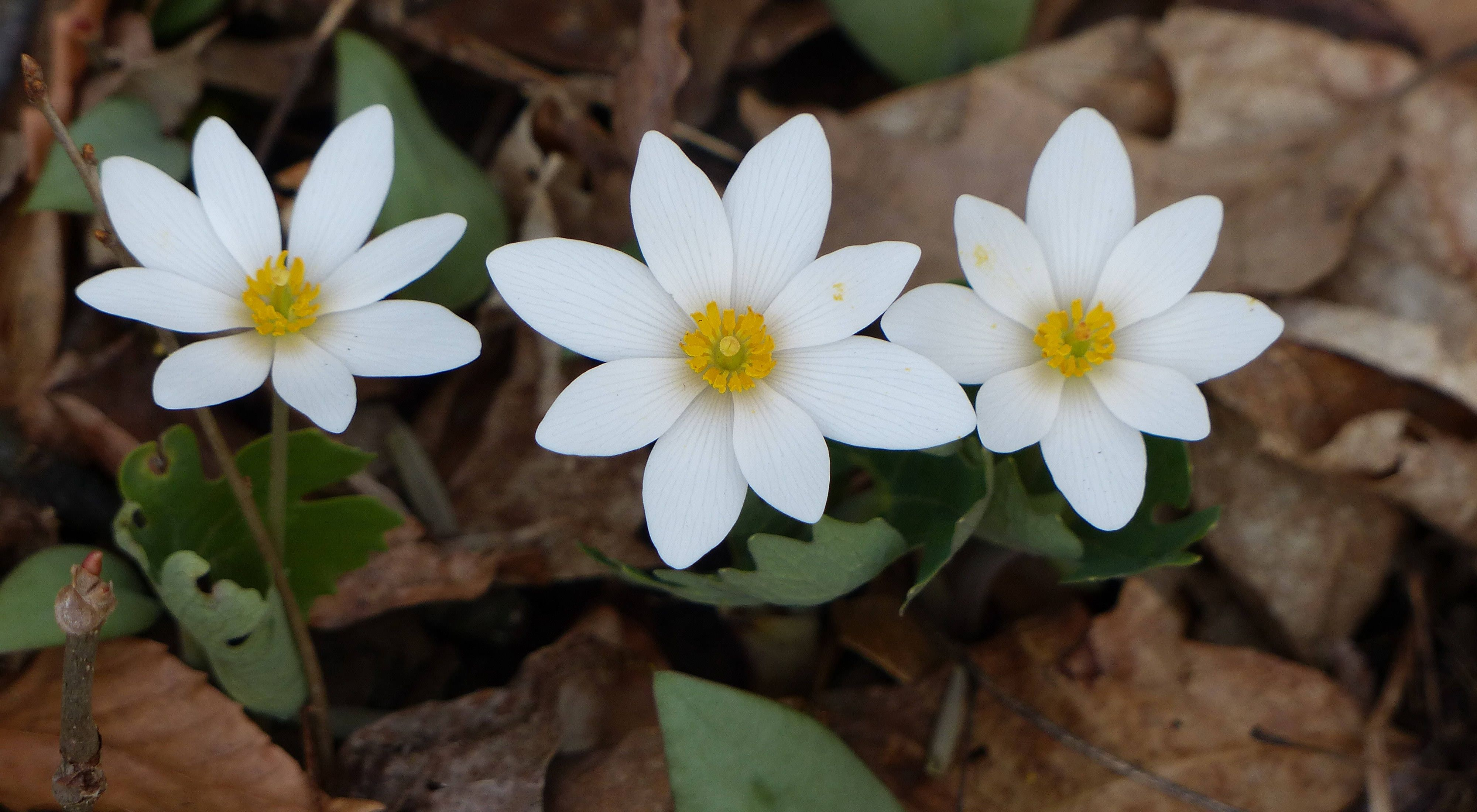 Three white flowers bloom on the forest floor.