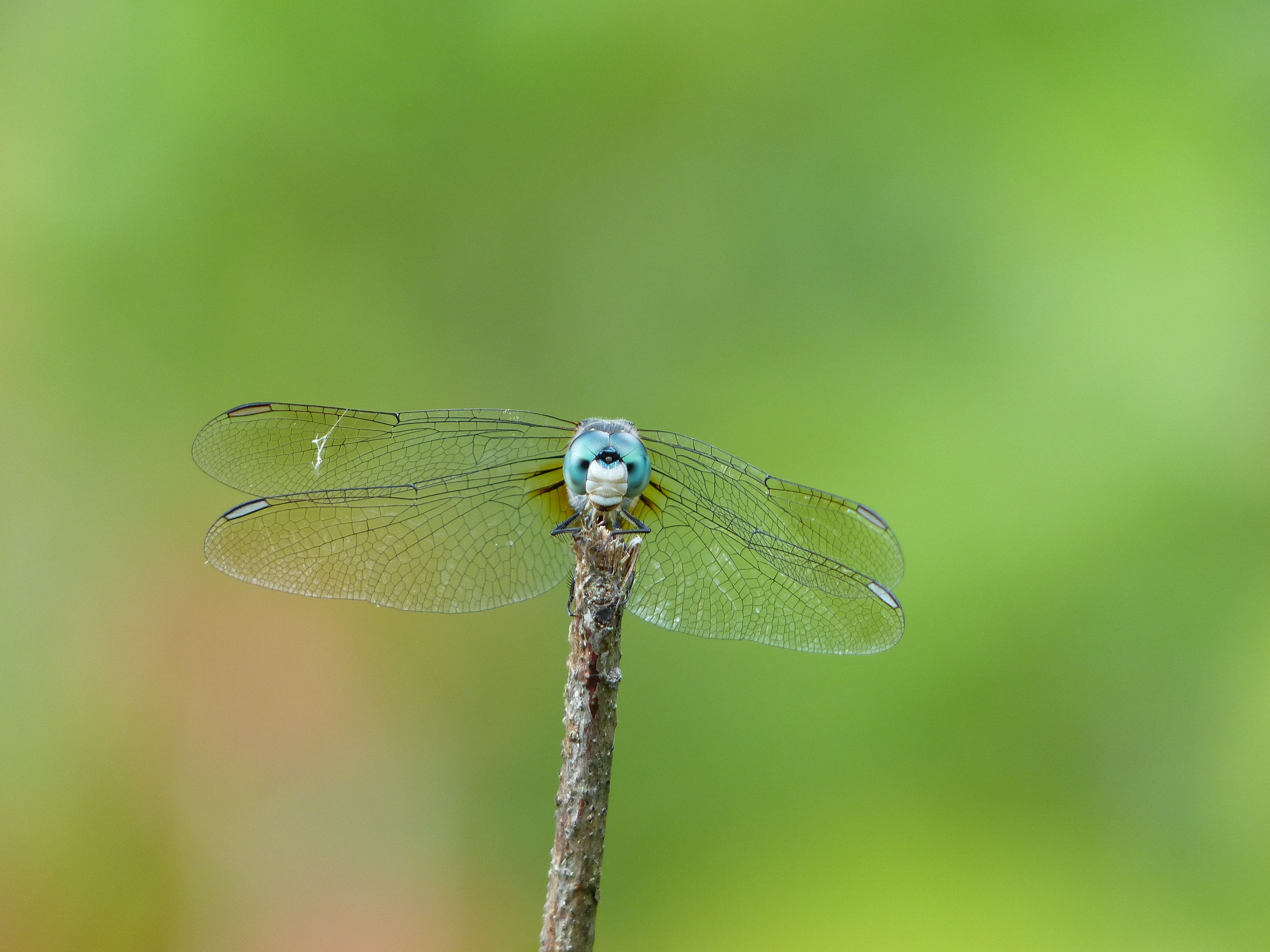 A male blue dasher is perched on a twig with its wings folded forward.