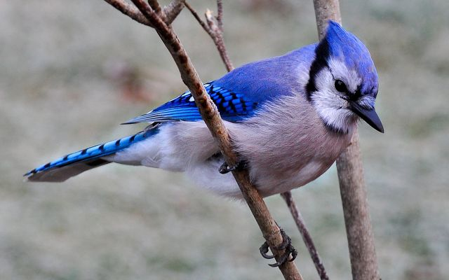 An adult blue jay resting on a tree branch.