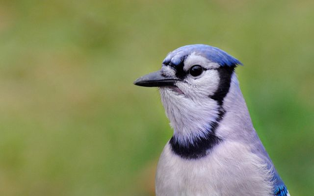 The white, black and blue head of an adult blue jay.
