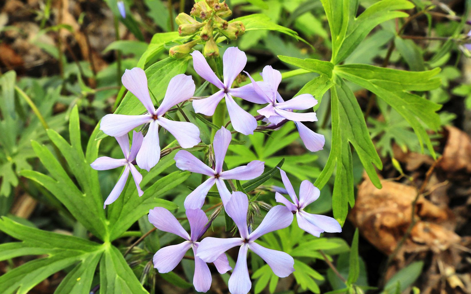 Blue wildflowers emerge from damp spring soils.