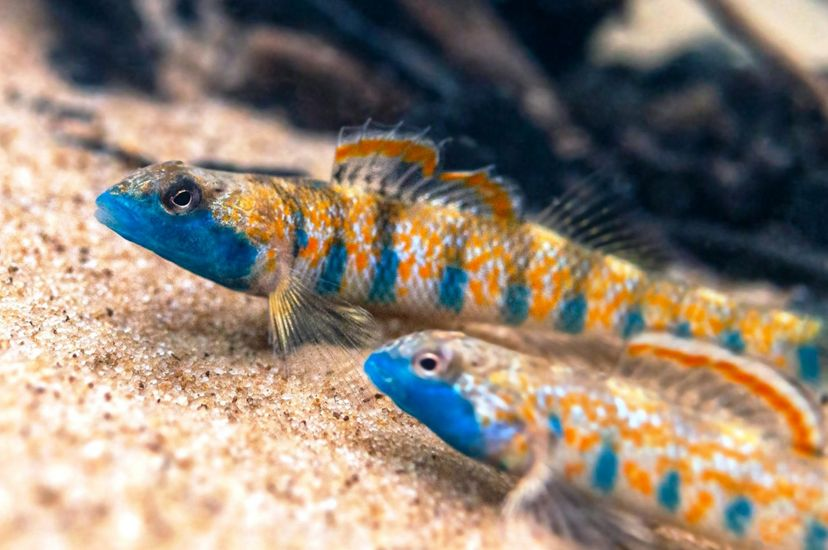 Two small fish with blue faces swim in a river.