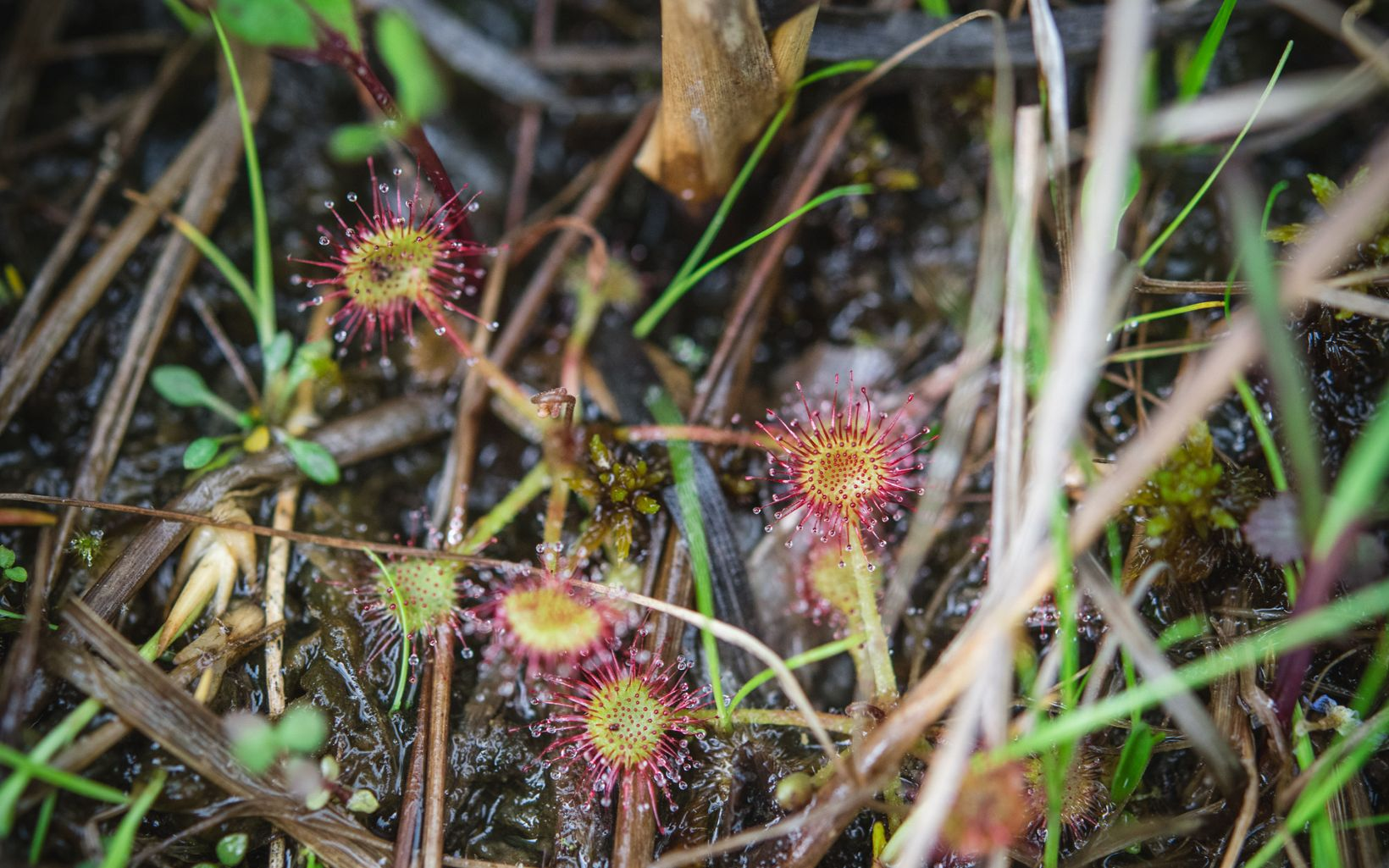 Sundew hidden in the grass.