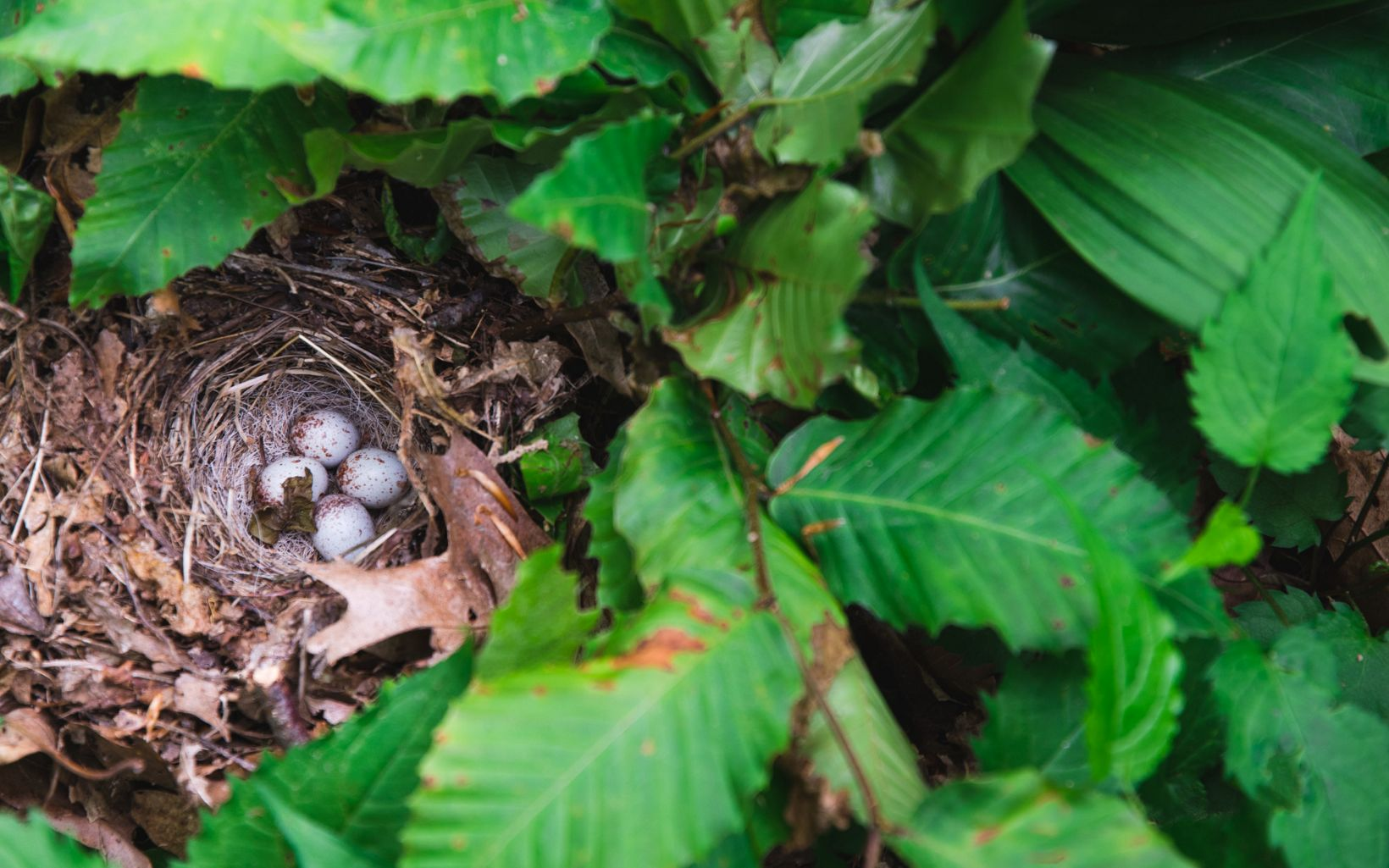 Nest of four eggs nestled into the ground under a fern.