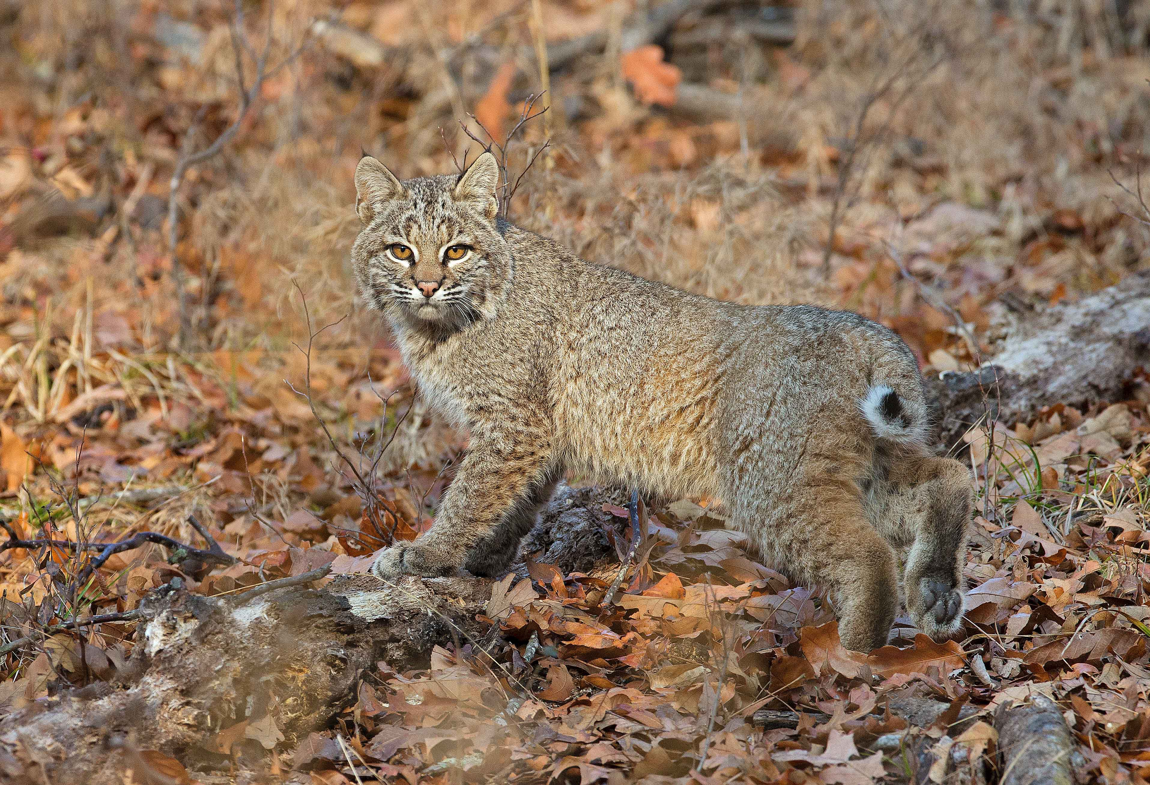 Bobcat spotted among the trees.