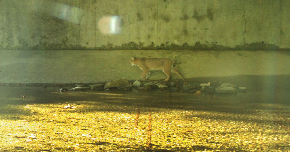 A bobcat passes through a culvert under Interstate 90 in Massachusetts.