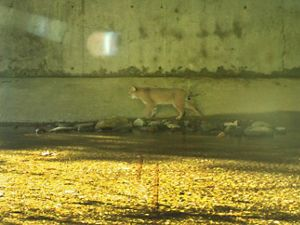 A bobcat passes through a tunnel under I-90 in MA.