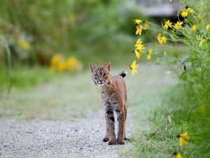 A bobcat at Shaw Nature Reserve in Missouri